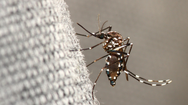 Komar azjatycki wywołał epidemię tropikalnej gorączki we Włoszech