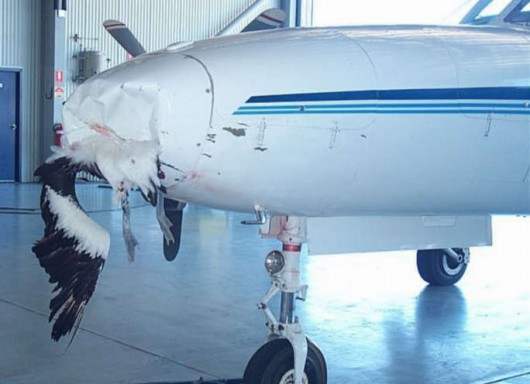 Rocznie mamy 2200 wypadków lotniczych spowodowanych przez ptaki 6