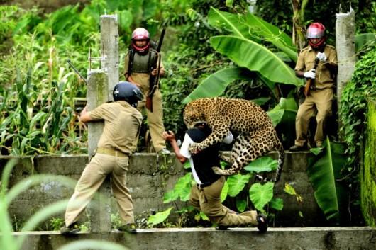 Indie - Atak leoparda