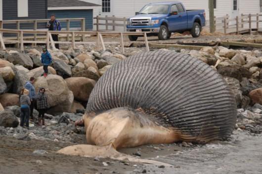 Kanada - Martwy płetwal błękitny