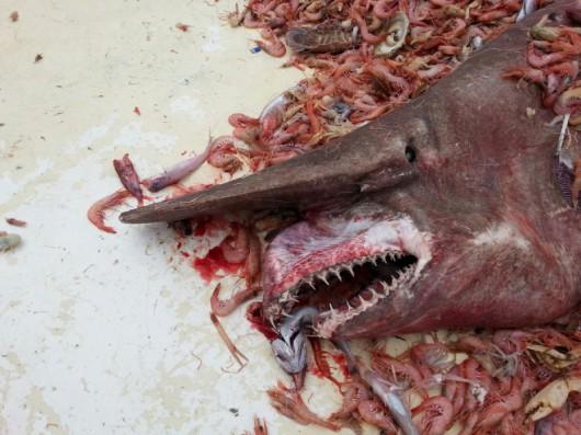Rekin goblin wyciągnięty przez poławiaczy krewetek z wód Zatoki Meksykańskiej