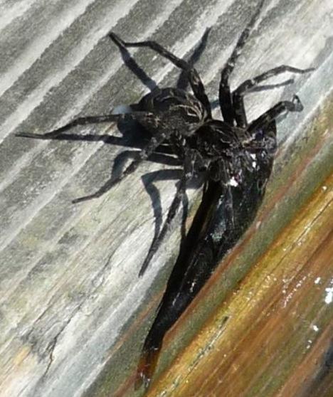 Atak pająka na rybę 2