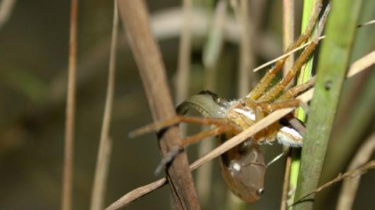 Atak pająka na rybę 4