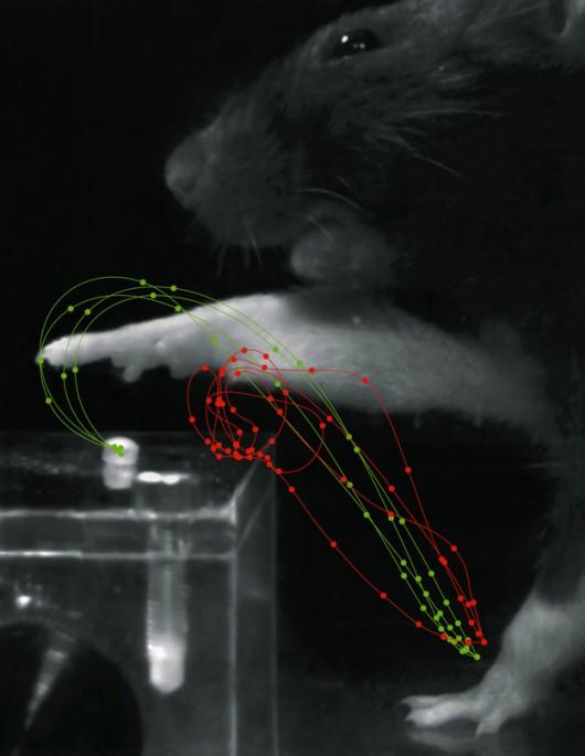 Porównanie trajektorii ruchu łapą szczura po uderze (czerwone) i po rehabilitacji (zielone) /Tabea Kraus /