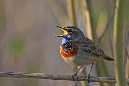 Śpiewający ptak
