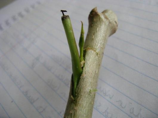 Szczepienie roślin