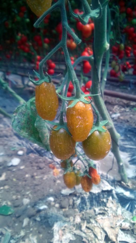 Tak wyglądają niegnijące pomidory (fot. dzięki uprzejmości firmy Syngenta) /Syngenta /