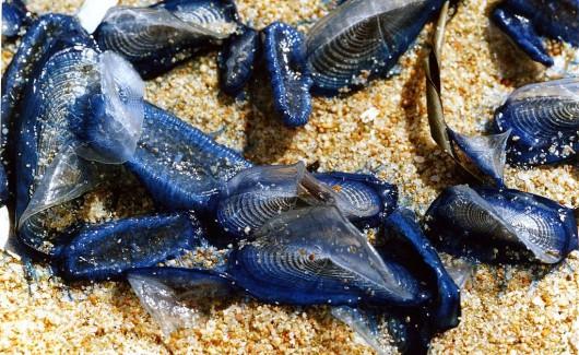 USA - Gigantyczna ilość meduz opanowała plaże nad Pacyfikiem