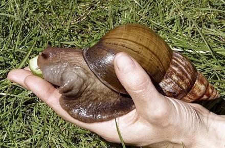 USA - Ogromne afrykańskie ślimaki niszczą uprawy i zagrażają ludziom 2