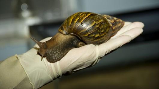 USA - Ogromne afrykańskie ślimaki niszczą uprawy i zagrażają ludziom 4