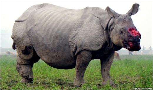 Afryka - Kłusownicy zabijają rocznie prawie 900 nosorożców, kilogramowy róg na czarnym rynku kosztuje nawet 65 tysięcy dolarów