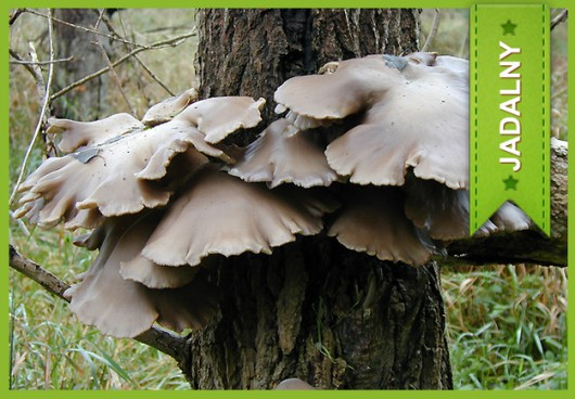 Boczniak ostrygowaty (Pleurotus Ostreatus) /Główny Inspektorat Sanitarny /