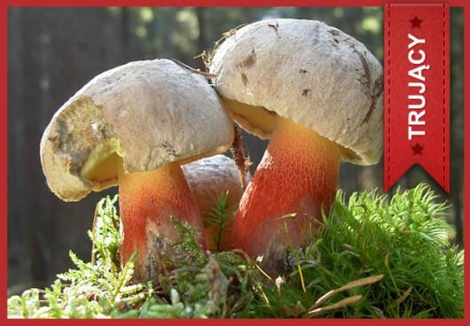 Borowik grubotrzonowy (Boletus calopus) /Główny Inspektorat Sanitarny /