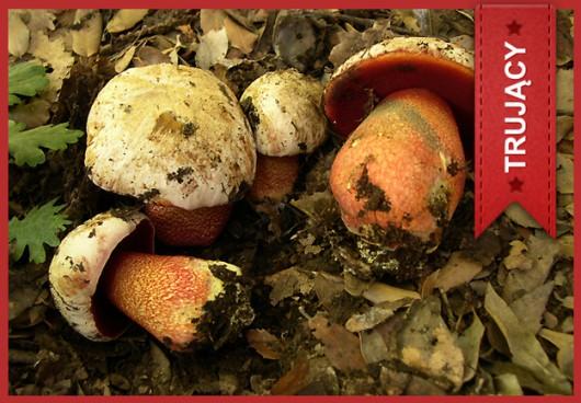 Borowik purpurowy (Boletus rhodoxanthus) /Główny Inspektorat Sanitarny /
