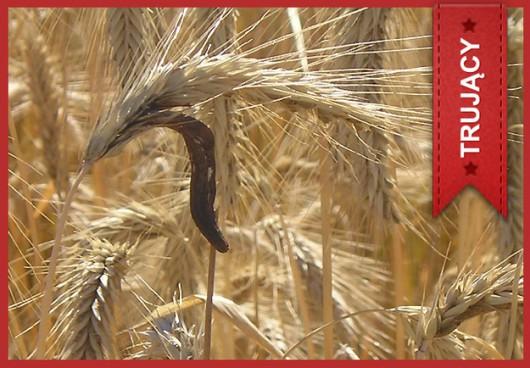 Buławinka czerwona (Claviceps purpurea) /Główny Inspektorat Sanitarny /