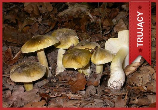 Gąska oddzielona (Tricholoma sejunctum) /Główny Inspektorat Sanitarny /