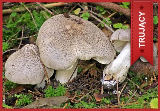 Gąska rózgowata (Tricholoma virgatum) /Główny Inspektorat Sanitarny /