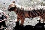 Indie - 20-latek wskoczył na wybieg białego tygrysa w ZOO w New Delhi i już nie wyszedł 1