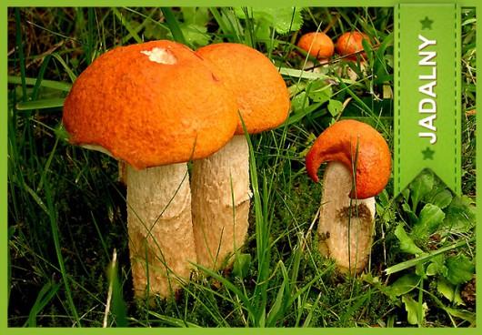 Koźlarz czerwony (Leccinum Rufum) /Główny Inspektorat Sanitarny /