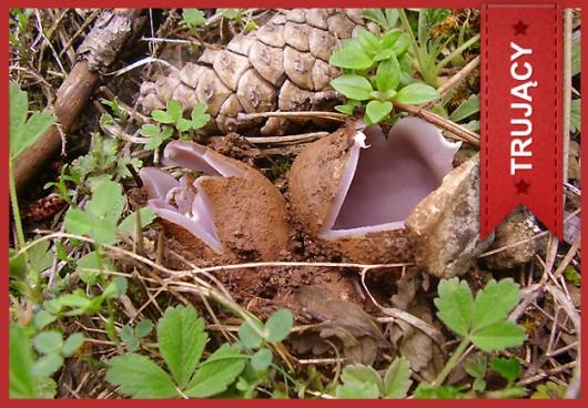 Koronica ozdobna (Sarcosphaera crassa) /Główny Inspektorat Sanitarny /