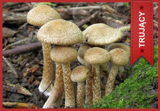 Kruchaweczka omszona (Psathyrella velutina) /Główny Inspektorat Sanitarny /