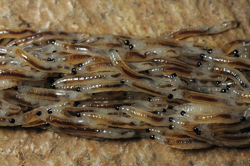 Larwa muchówki