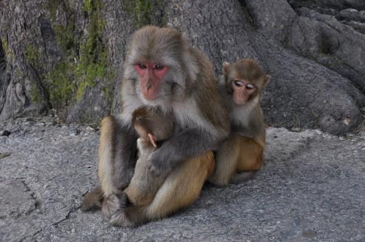 Małpy Rezus
