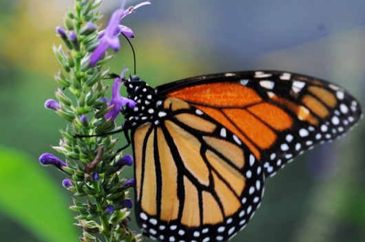 Monarch zbierający nektar z kwiatów /Mario Lopez /PAP/EPA