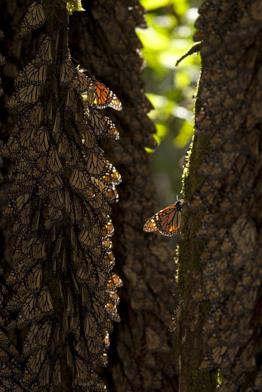 Monarchy na drzewach w Meksyku /Mario Vazquez de la Torre /PAP/EPA