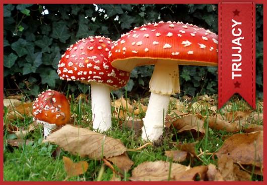 Muchomor czerwony (Amanita muscaria) /Główny Inspektorat Sanitarny /