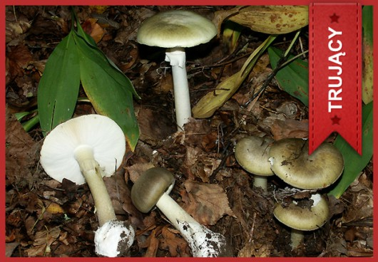 Muchomor sromotnikowy (Amanita phalloides) /Główny Inspektorat Sanitarny /