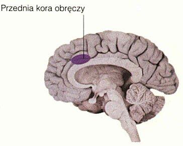 Przednia kora obręczy - Mózg