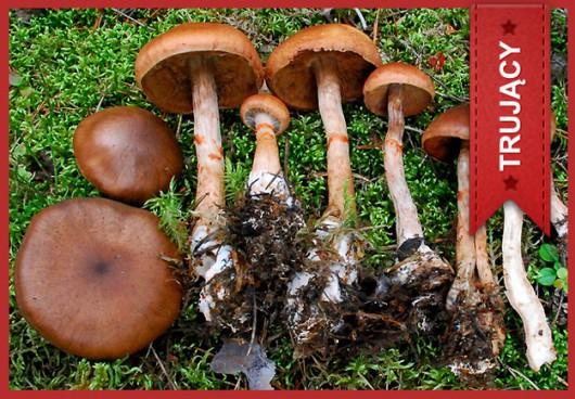 Zasłonak odwinięty (Cortinarius armillatus) /Główny Inspektorat Sanitarny /
