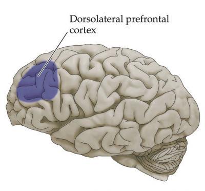 grzbietowo-bocznej kory przedczołowej mózgu