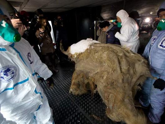 Arktyka - Młody mamut włochaty sprzed 39 tysięcy lat 1