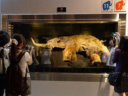 Arktyka - Młody mamut włochaty sprzed 39 tysięcy lat 2