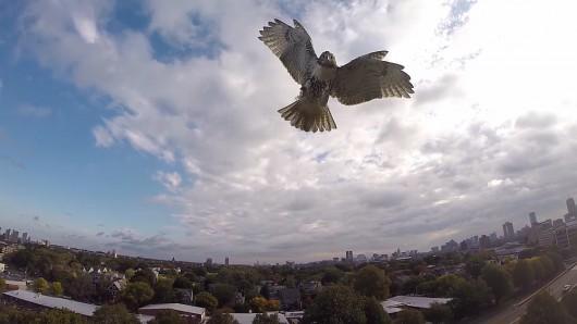 Jastrząb zaatakował drona