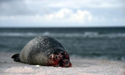 Niemcy - Morze na brzeg wyrzuciło 200 martwych fok 1