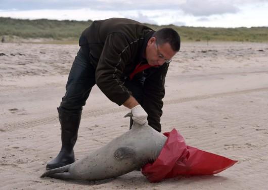 Niemcy - Morze na brzeg wyrzuciło 200 martwych fok 2
