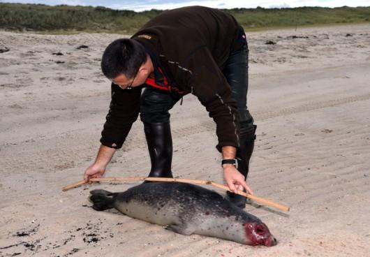 Niemcy - Morze na brzeg wyrzuciło 200 martwych fok 3