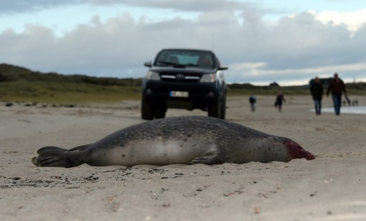 Niemcy - Morze na brzeg wyrzuciło 200 martwych fok 4
