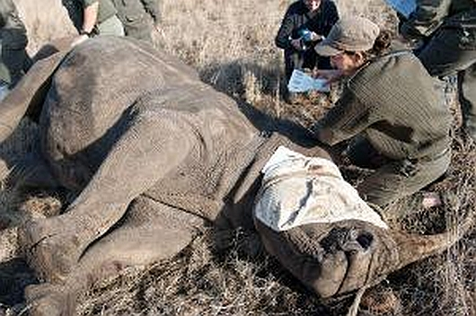 Zabity nosorożec biały północny