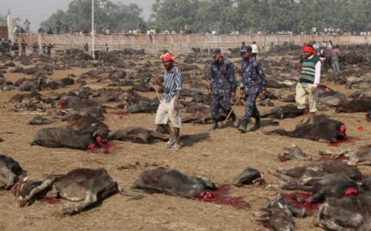 Bariyapur, Nepal - Okrutny zwyczaj w XXI wieku, setki tysięcy zwierząt złożone w ofierze bogini Gadhimai 3