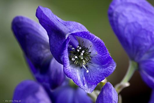 Kwiat Tojadu