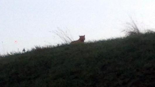 Montevrain, Francja - Trwają poszukiwania tygrysa, który był widziany koło Paryża