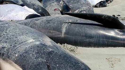 Nowa Zelandia - Znaleziono 22 młode walenie na jednej z plaż Wyspy Północnej 1