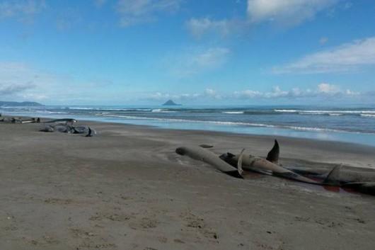 Nowa Zelandia - Znaleziono 22 młode walenie na jednej z plaż Wyspy Północnej 2