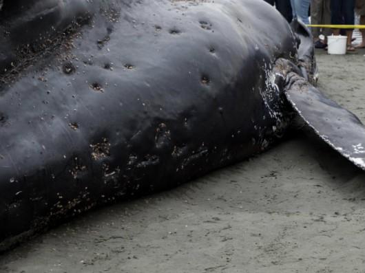Nowa Zelandia - Znaleziono 22 młode walenie na jednej z plaż Wyspy Północnej 3