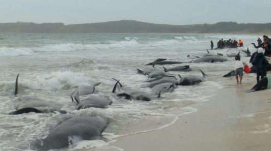 Nowa Zelandia - Znaleziono 22 młode walenie na jednej z plaż Wyspy Północnej 5