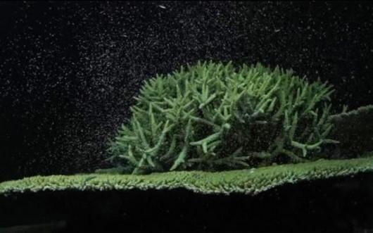 Australia - Niezwykłe zjawisko w Wielkiej Rafie Koralowej